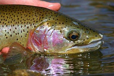 Brown Trout in stream.