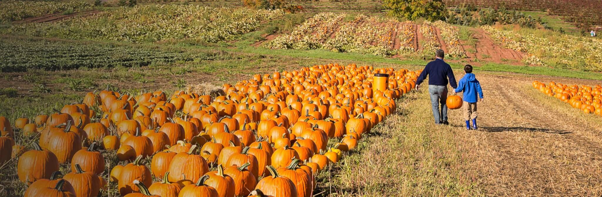 Pumpkins lined up on a field ready for picking