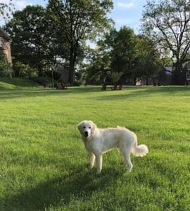 Large white dog stands in a field of cut grass with trees in the distance