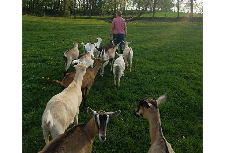 Goats tagalong behind their owner